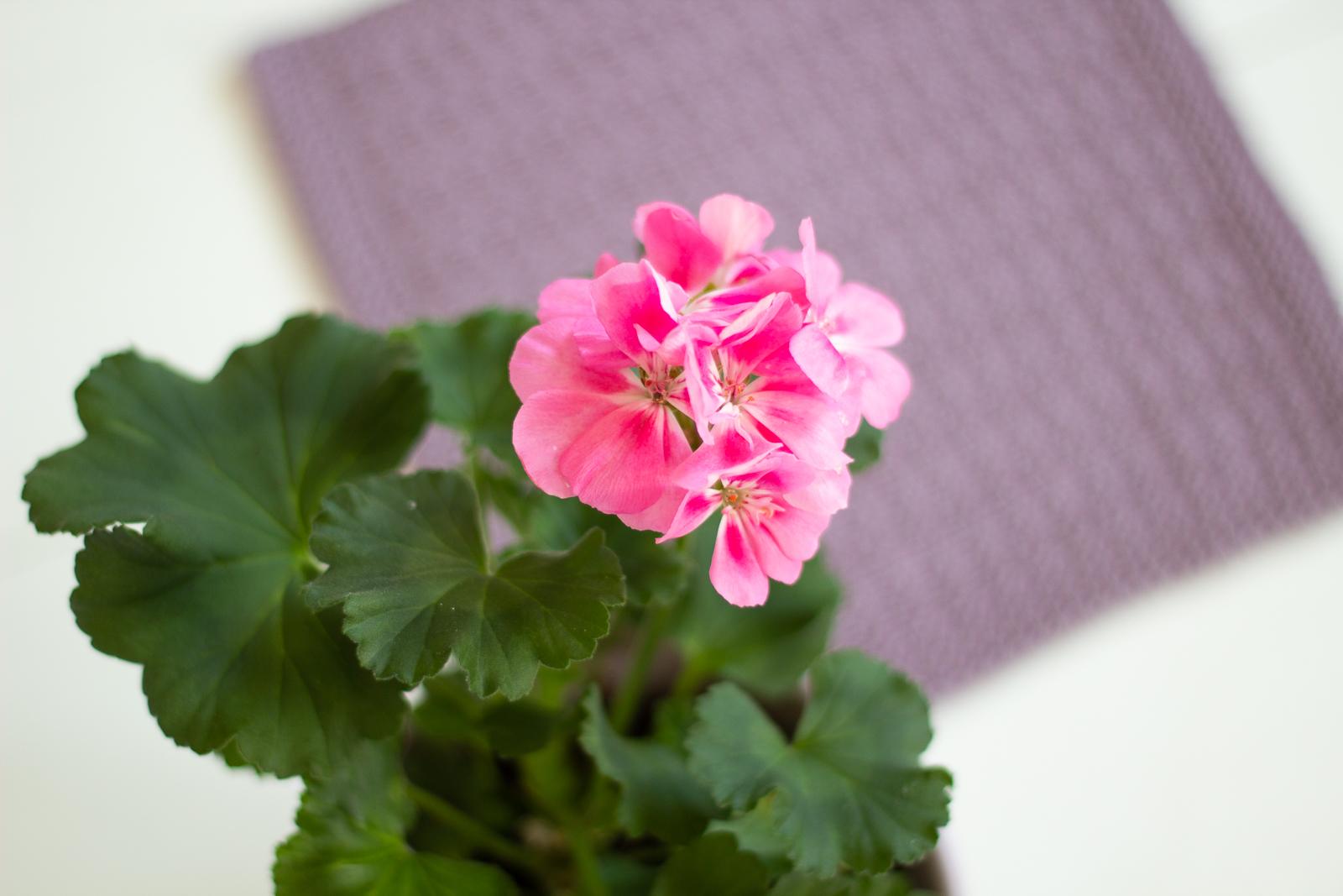 Pelargoni ja lila tiskirätti.